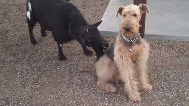 One Dog's Reaction To A Sneaky Little Goat Will Have You Laughing SO Hard