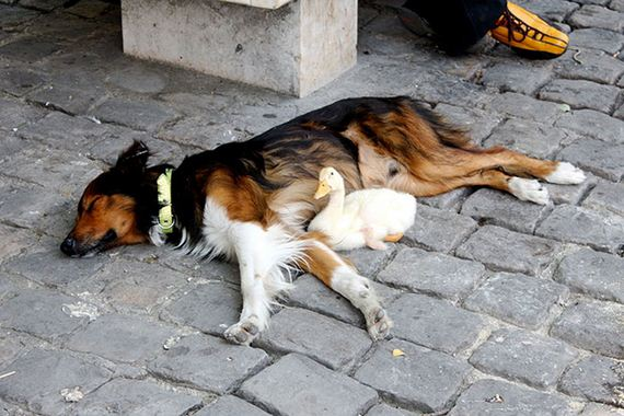 Awww! This dog and duck take adorable cat-naps all over Paris