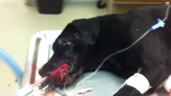 A Cop Was Going To Shoot This Injured Dog, But Then A Vet Heroically Stepped In