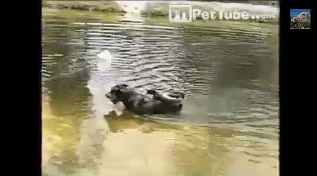 Wednesday's Funny Video: Duck Rides a Dog!