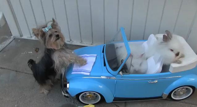 This Tiny Dog Wants To Know If These Rabbits Want The Deluxe Wash
