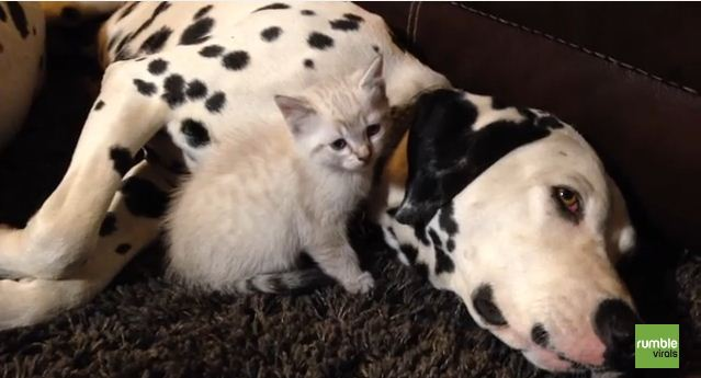 This Kitten Falls Asleep In The Safest Place Ever – Between Dalmatians