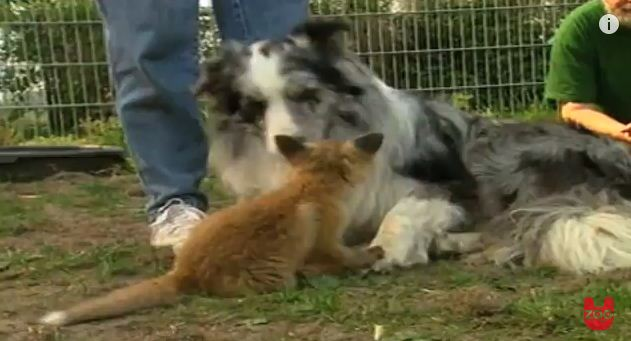 "Real Life ""The Fox And The Hound"": This Baby Fox Loves This Dog So Much"
