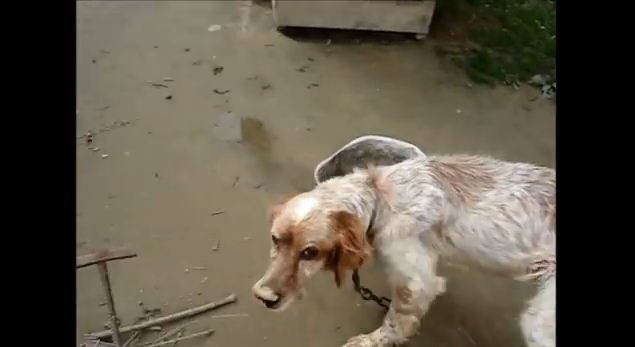 Dog Starved And Chained For 5 Years Is Rescued And Transformed