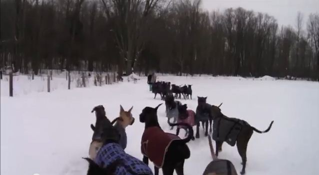 Here's What Happens When 35 Great Danes Go For A Walk In The Snow