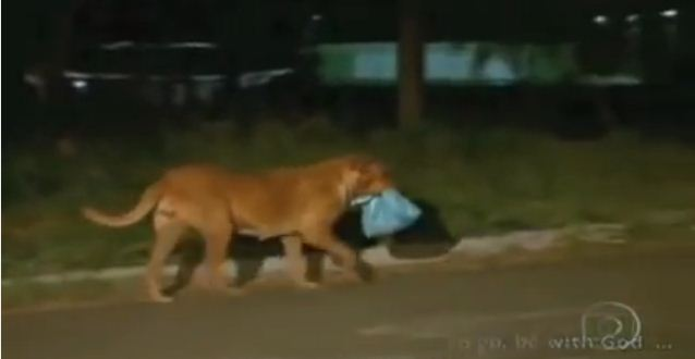 Watch This Hero Dog Endure A Lengthy Journey To Feed Neighboring Animals.