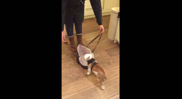 Instead Of Going On A Walk Like Most Dogs, This Tiny Bulldog Does The Cutest Thing