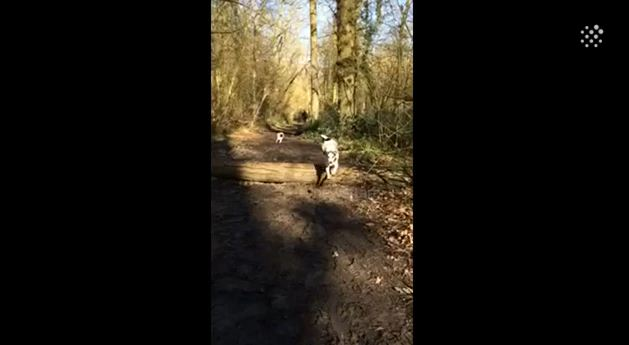 Look Closely: What This Pug Does At The 18 Second Mark Is Hysterical