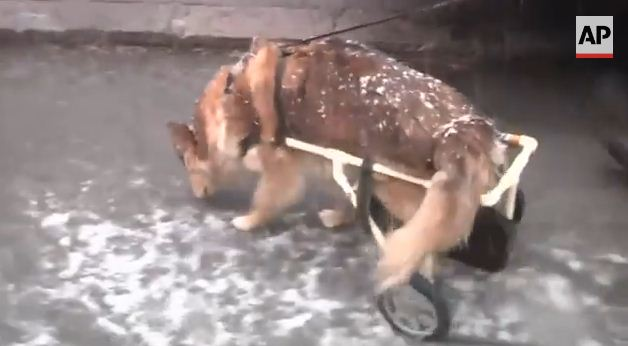 Man Builds Wheelchair For Disabled Dog And Demand Explodes