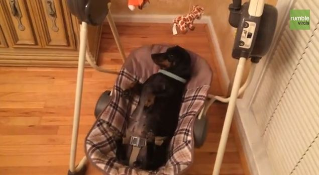 This Dachshund Relaxing In A Baby Swing Doesn't Have A Care In The World
