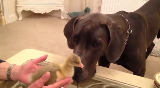 What Happens When They Introduce Their Great Dane To A Tiny Gosling Is Hysterical