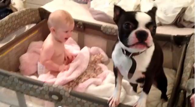 This Boston Terrier's Morning Routine Will Put The Biggest Smile On Your Face