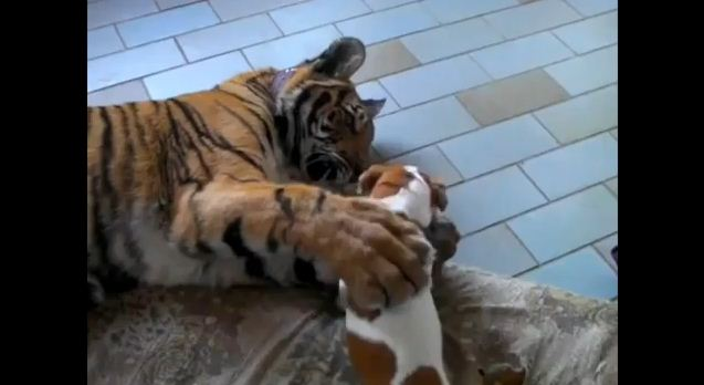 I Was Nervous When This Dog Approached A Tiger…You Have To See What Happened