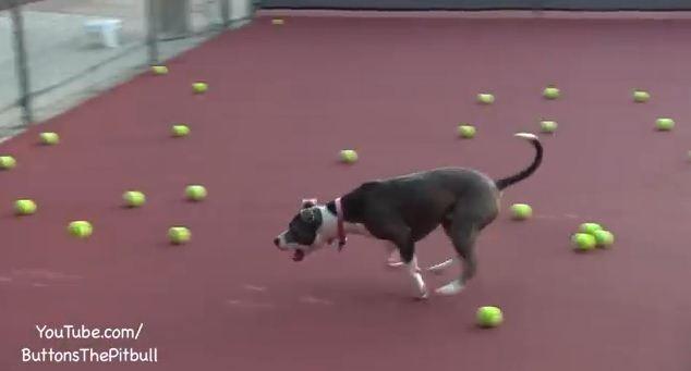 They Gave This Rescued Pitbull The Play Of Her Life With 100 Tennis Balls