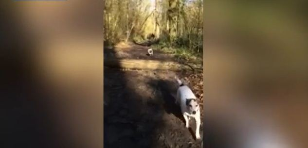 Whoopsie! Poor Pug Badly Miscalculates Jump