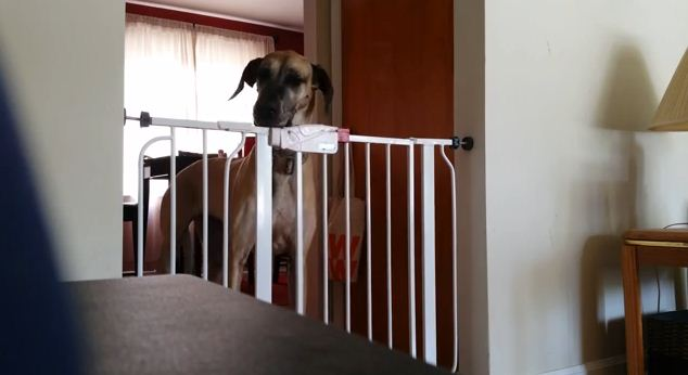 Get Ready To Laugh When You See How This Dog Gets Through A Baby Gate