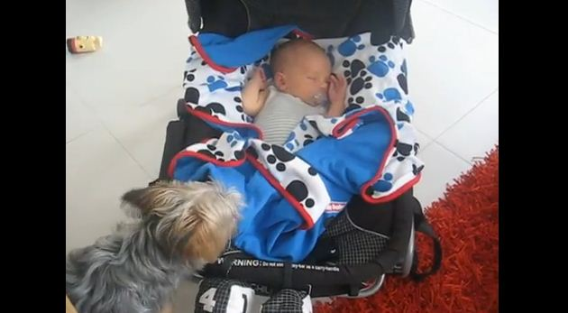 What A Protective Yorkie Did To A Baby Left My Heart In A Huge Puddle On The Ground