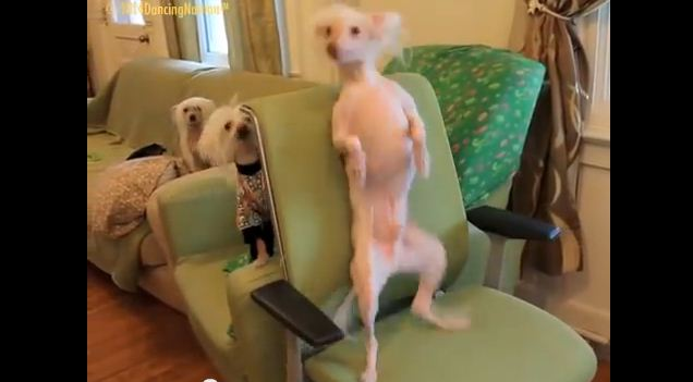 This Dog Likes To Dance More Than Any Other – Watch Him Go!