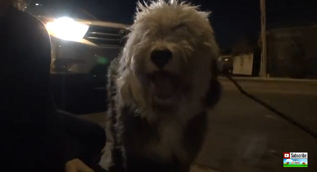 Old English Sheepdog's Eyes Were Matted Shut When They Found Her On The Railroad Tracks