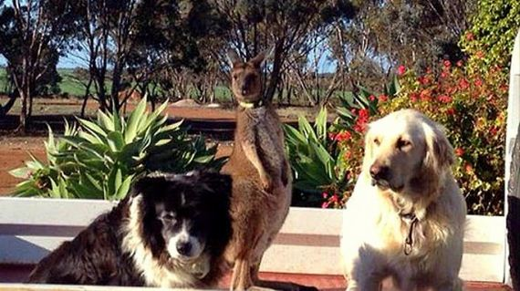 This Kangaroo Is Just One of the Dogs