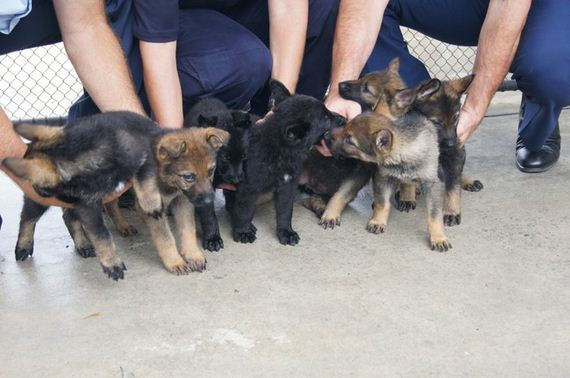7 Precious Police Puppies Are Working Hard To Protect, Serve, And Be SO Cute
