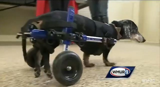 Elderly Stray Dog Receives Wheelchair For Paralyzed Legs And Can Finally Move Again