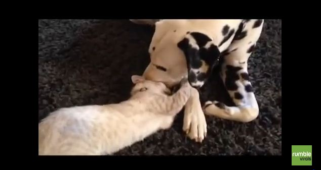 Clever Dog Outsmarts Feisty Kitten During Playdate