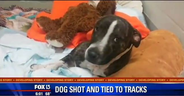 Shot Twice And Tied To Train Tracks This Dog Was Rescued Just In Time
