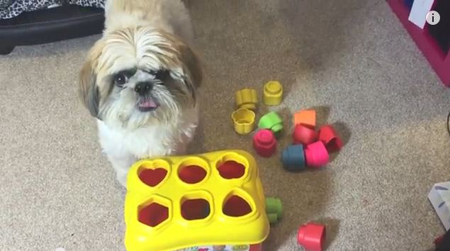 What This Shih Tzu Can Do Makes It Smarter Than Your Baby – Seriously