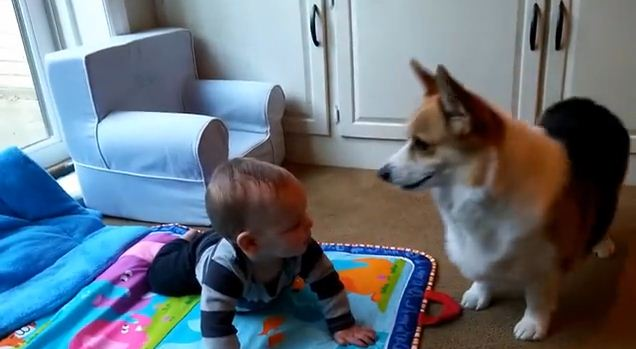 After Meeting His Family's Tiniest Human, This Corgi Had The Sweetest Reaction