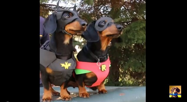 The Next Big Hollywood Star Is Here Crusoe the Dachshund