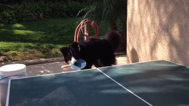 This Dog Will Kick Your Butt at Ping-Pong!