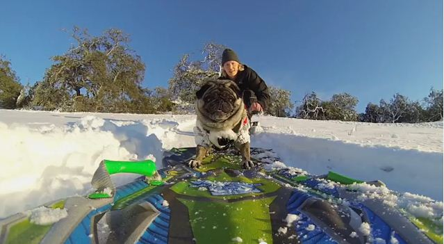 This Pug Loves To Snowboard Like No Other