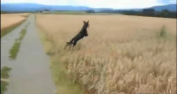Jubilant Dog Dives In And Out Of The Tall Grass While His Owner Captures Everything