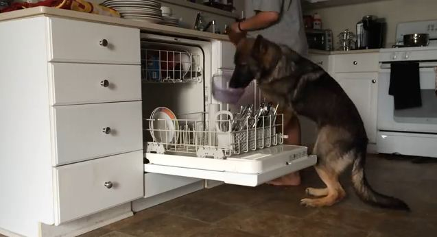 When It's Time For Chores, This Clever Dog Is A Huge Help Around The House