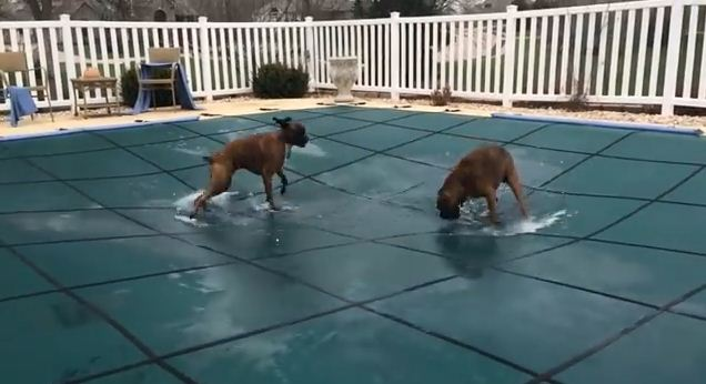 Their Humans Put A Cover On The Pool, But These Dogs Are Determined To Play