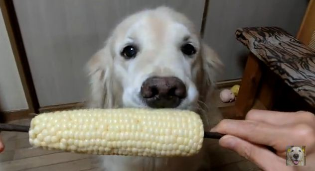 Watching A Golden Retriever Eat Corn On The Cob Is The Funniest Thing Ever