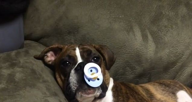Your Heart Will Melt When You See What An Adorable Boxer Puppy Does At Nap Time