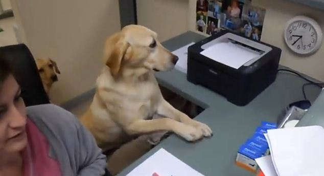 Meet The Dog Who Serves Customers At A Vet's Office