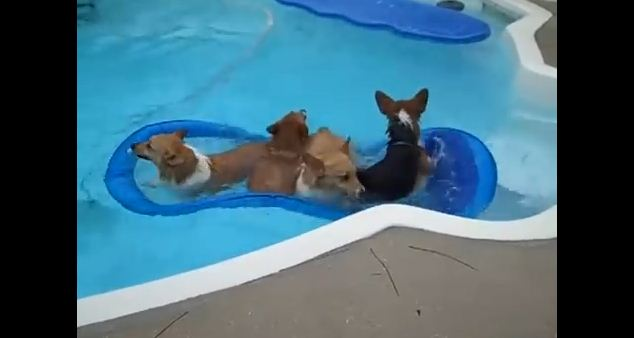 Watching These Corgis Enjoy Their Pool Party Will Absolutely Make Your Day