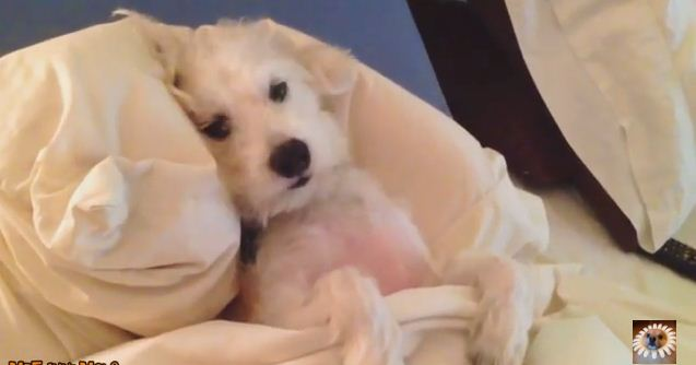 Dogs Who Hate Getting Out Of Bed Probably As Much As You Do! LOL!