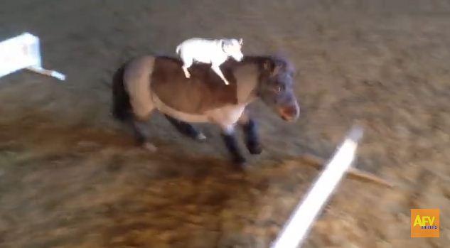 Tiny Dog Is a Pony-Jumping Master