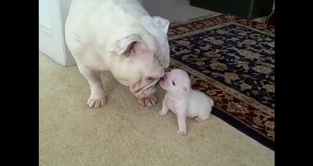 When You See How Cute This Bulldog Puppy Is With His Mom, Your Heart Will Melt
