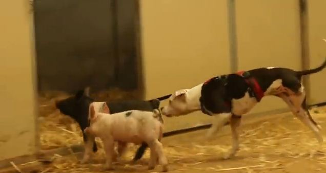 Rescued Piglets Take Three-Legged Pit Bull For A Walk