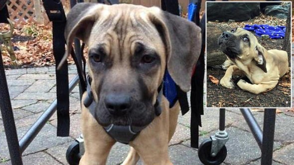 Paralyzed Puppy Abandoned in a Park Gets to Walk Again