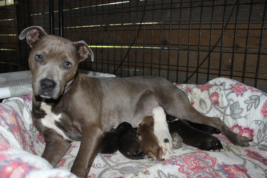 Rescued Pit Bull Becomes A Foster Mom To 16 Puppies – And All Need Homes!