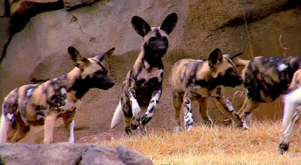 African Wild Dog Pups Go Outside for the First Time