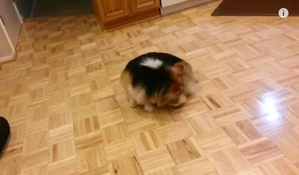 This Corgi Refuses To Stop Chasing Her Tail. You'll LOL When You See Why.