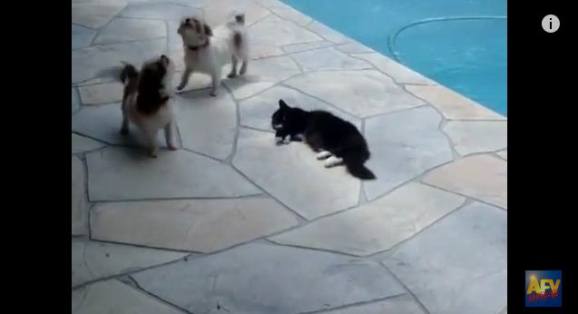 Cat Decides To End Play Time And Pushes Dog In Pool