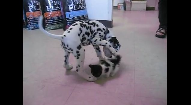 Dalmatian Puppy Meets A Kitten For The First Time